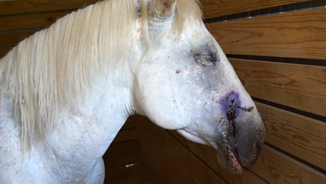 Everette, a rescue horse, was found by staff July 4 bleeding from his nose.