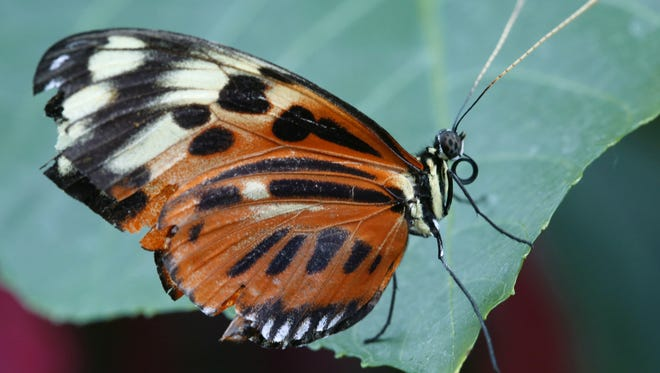 A Tiger Longwing (Heliconius hecale) in the butterfly wing of the Reiman Gardens in Ames.