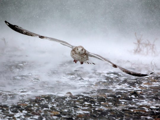 A seagull takes flight in high winds and blowing snow