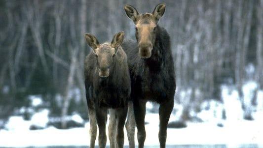 Moose on Michigan's Isle Royale on April 30, 2014.
