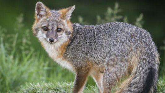 A rabid fox was found in Monroe
