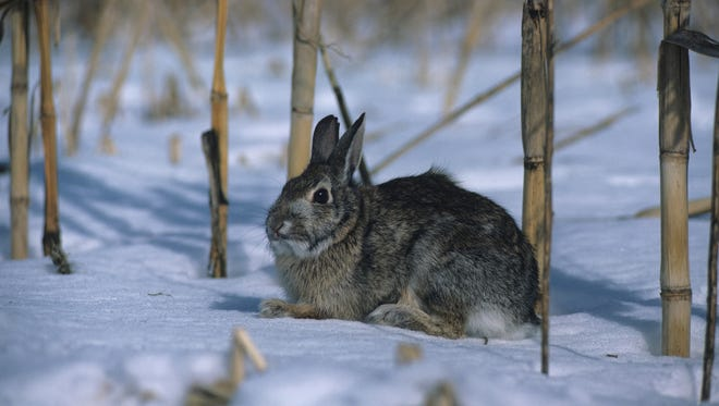 Cottontail rabbit sitting in snowy field, North America