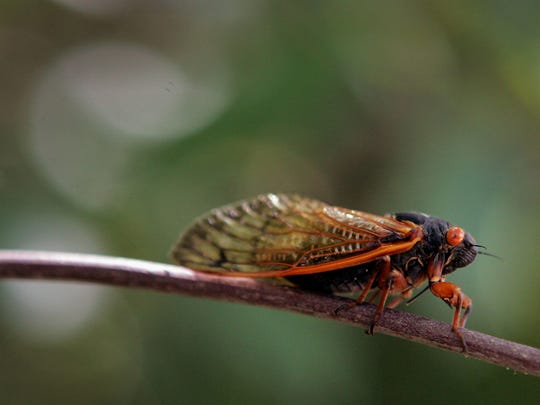 Cicadas: Flying insects that emerge in late June, search for mates, reproduce and then die of natural causes two months later, if not consumed before then. Roughly 3,400 species are found worldwide, with nearly 200 in North America. The Apache cicada is the most prevalent in the Phoenix area.