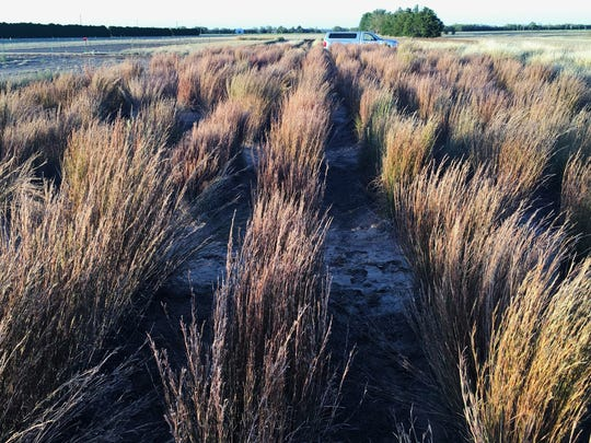 Little bluestem evaluation plots at the Knox City Plant Materials Center in Knox City. Little bluestem is a common native grass that grows from Canada to Mexico.
