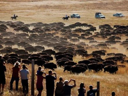 buffalo1.png