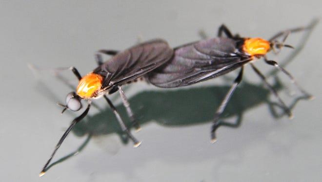 A male and female lovebug mating.