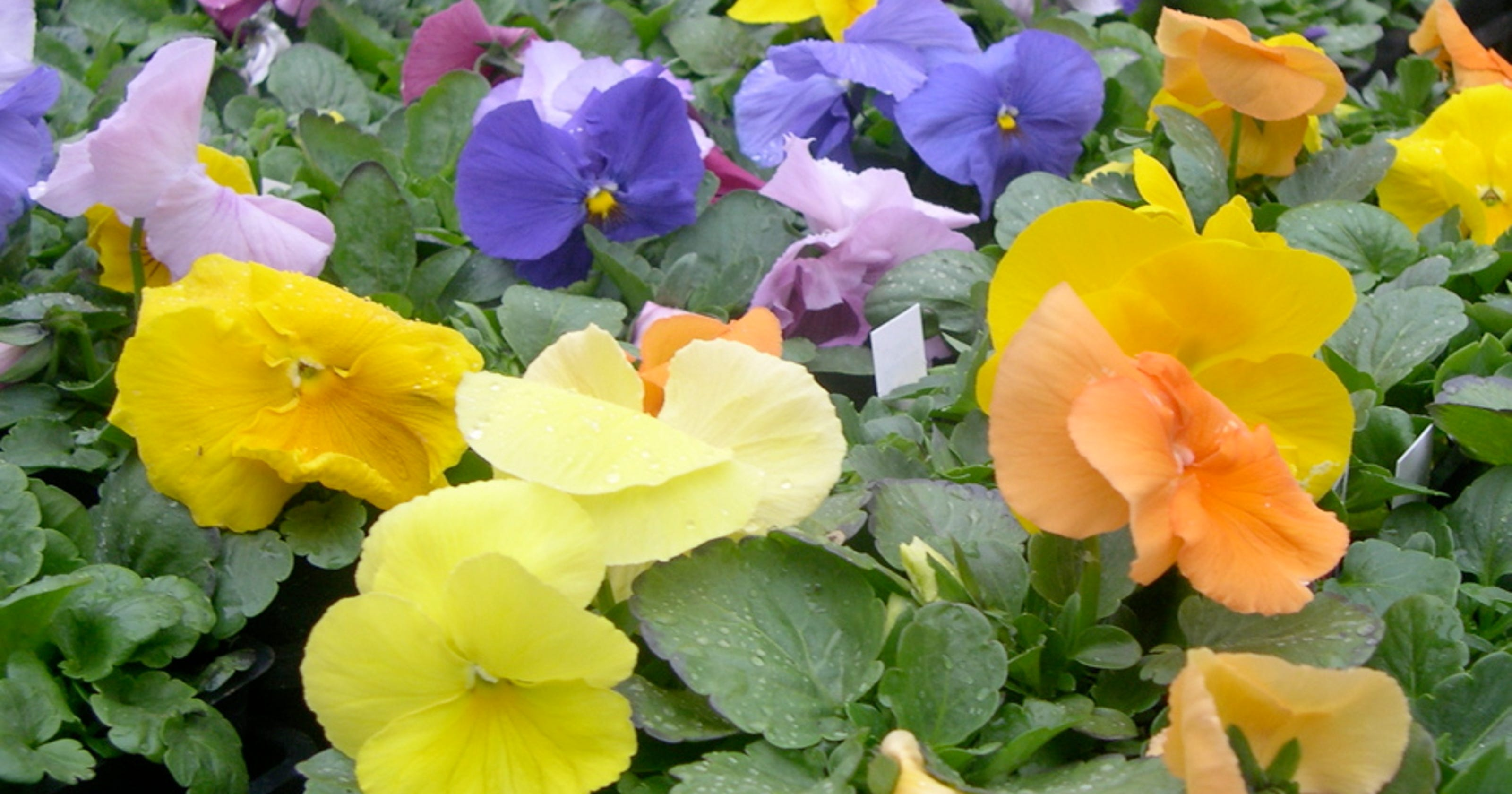 Grow Pansies In Winter Theyll Last Into Spring