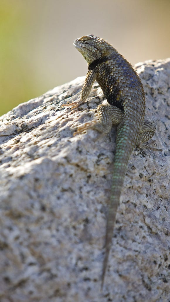 169551 boulders25 7/15/2010 A lizard warms up in the