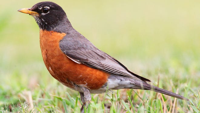 Robins are obviously one species that is very capable of adapting to change.
