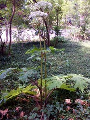 Giant hogweed has big, tropical-looking leaves and