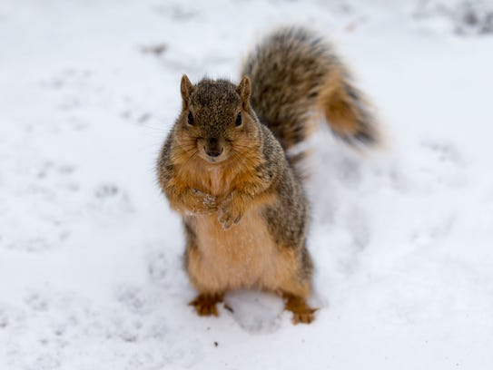 A fox squirrel in the snow.