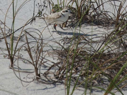A Snowy Plover hides in the grasses near a nesting site at Fort Pickens. Shorebird nesting season in the GINS is getting started.