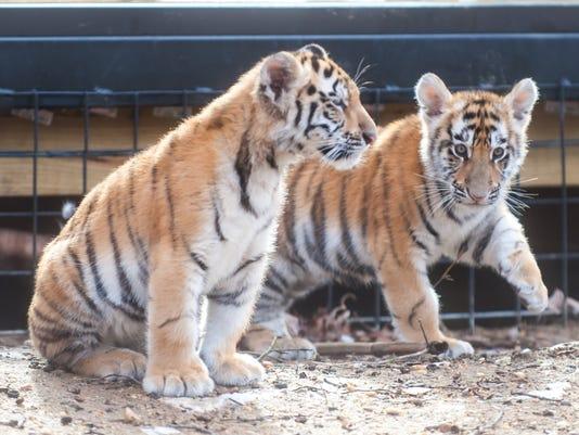 636197397479206961-011116jmo-Tigers-3982.jpg
