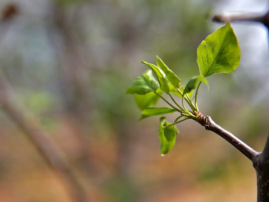 A tree buds new leaves.