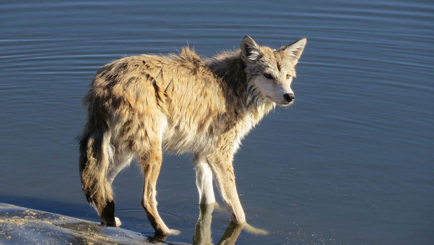 coyote attack in canton kills family dog. Black Bedroom Furniture Sets. Home Design Ideas