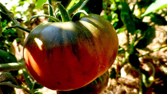 'Black Krim' tomatoes maintain high levels of chlorophyll in the green shoulders even as the rest of the fruit synthesizes the red pigment lycopene. The result is the distinctive 'Black Krim' dark purple, mottled brownish colored flesh and skin.