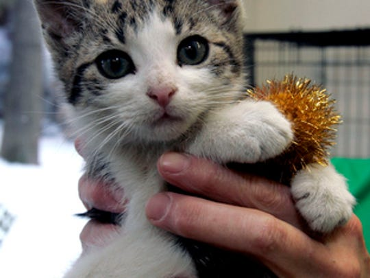 Yankee, an 8-week-old domestic short hair white tabby attends Hi Tor Animal Care Center's first tree lighting ceremony in Pomona Dec. 22, 2009.  The shelter's Lights of Love Tree held special ornaments used to raise funds for the welfare of the animals at the shelter.  (Vincent DiSalvio / The Journal News)
