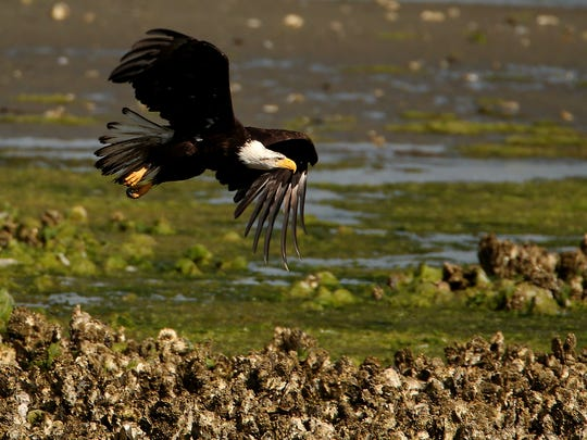 A bald eagle soars above the oyster beds.
