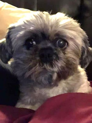 [PHOTO PROVIDED]Dumpling, a 6-year-old Shih Tzu, is a sight-impaired lap dog at a foster home for the Humane Society of Middletown. He would make an excellent emotional support dog.
