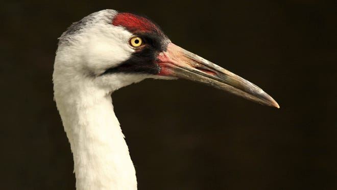 A reward is being offered in the shooting of an endangered whooping crane in Vermilion Parish.