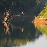 A great blue heron soaks up the rays of an early morning sun before flying into the shallows to hunt fish and frogs. From its perch in a dead tree the heron had a great view of Lake Taneycomo and Swan Creek, where both flow together in Taney County.  - Wes Johnson