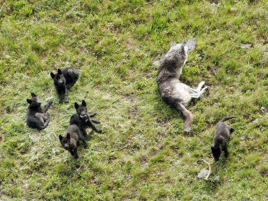 Yellowstone wolf project photo