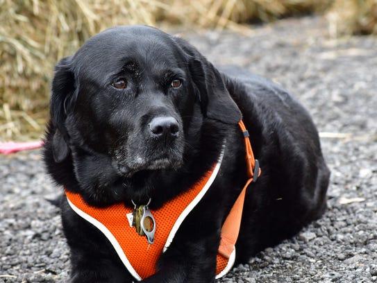 Beaux, a dog, enjoys the 2017 Autumn Lights Festival