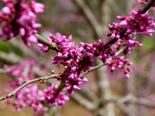 Pink blooms sprout from branches at the North Carolina
