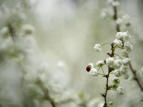 A beetle crawls on a blooming bush at the North Carolina