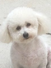 Linda, a bichon frise from Belleville, is the subject