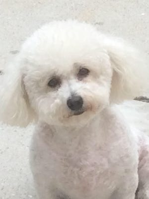 Linda, a bichon frise from Belleville, is the subject of a dispute in Belleville Municipal Court.
