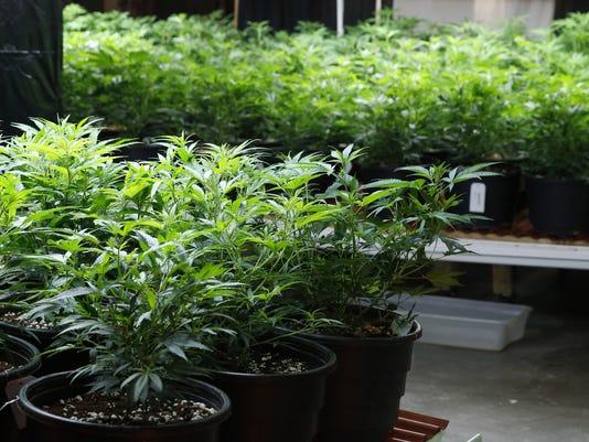 636258167970102444-marijuana-15.jpg