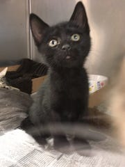 Berkley, an 8-week-old black neutered male, was one of two kittens reportedly stolen from Animal Rescue Force in Sayreville last weekend.