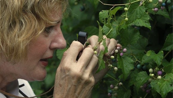Pat Haragan examined porcelainberry, an invasive vine,