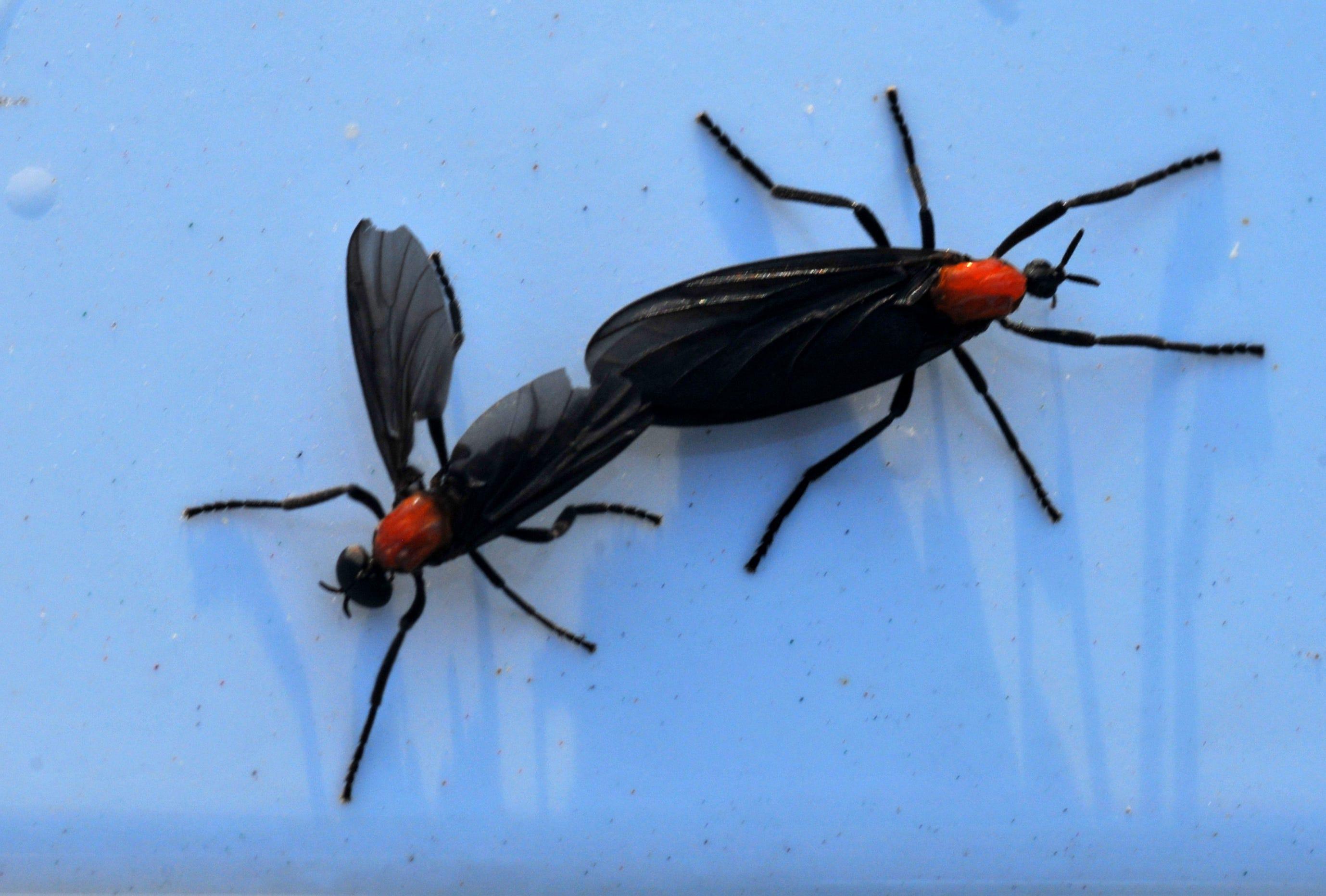 How Long Do Love Bugs Last In Texas