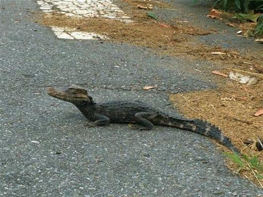 Gator.footlong