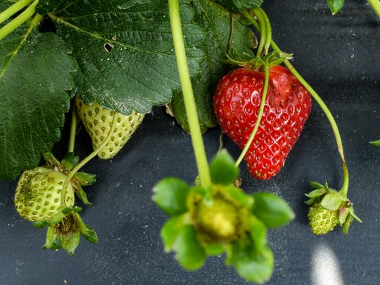 Strawberries grow out of the blooms at Berry Acres