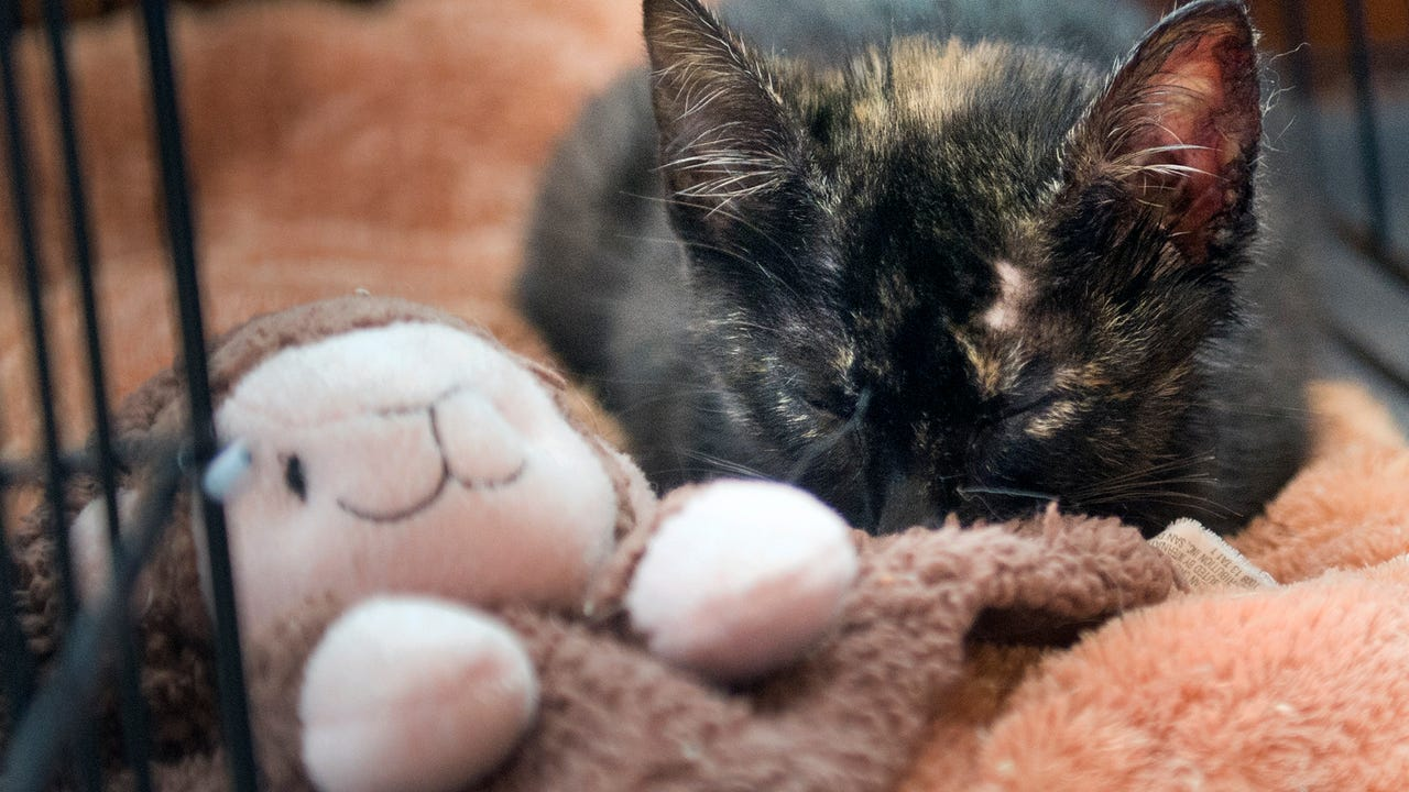 Rescued along Route 30 on a median with burned paws, ear and a bump on her head, a tortie kitten was doing better on Sunday.