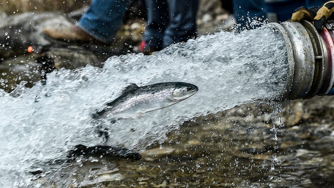 A rainbow trout shoots out of the end of a hose that is connected to an ODNR truck and into Quarry Park Lake on Friday. The Ohio Department of Natural Resources released 1017 rainbow trout into Quarry Park as part of the yearly trout stocking in various lakes and parks in Ohio.