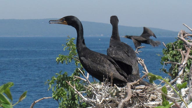 "In this June 16, 2016 photo, immature double-crested cormorants sit atop trees on island ""B"" of the Four Brothers Islands on the New York side in Lake Champlain. Biologists have been working to reduce the populations of the birds in the nesting grounds on the islands in the lake. But a federal judge's decision suspended efforts to control the bird on Lake Champlain and in 24 Eastern states."