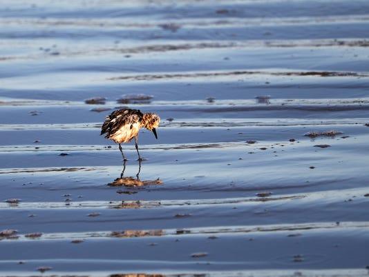 oiled-bird2.JPG
