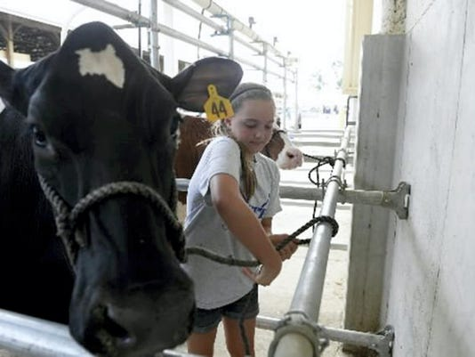 Paige Peiffer of Lebanon ties her cow a pole as she prepares to milk the cow during the LebanonArea Fair on Thursday, July 31, 2014. Milk from the dairy cows milked during the fair does go to a milk processor and is sold for consumption right here in Lebanon County. Jeremy Long -- Lebanon Daily News