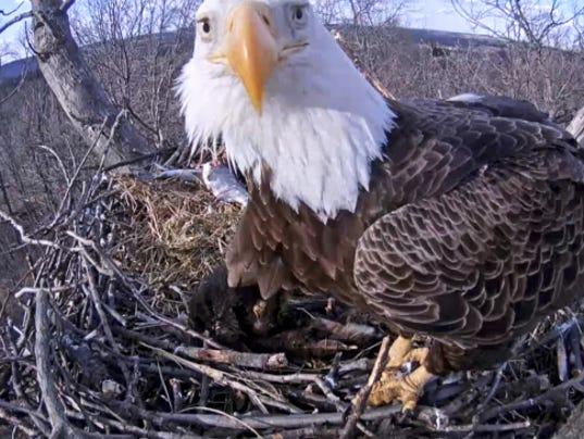 Hanover eagle cam FAQ