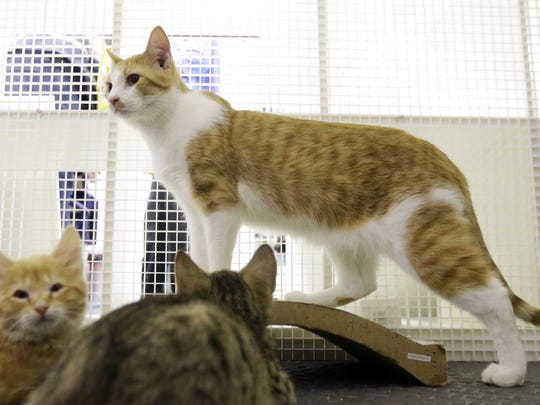 PetSmart regularly finds homes outside of Tulare County for up to 60 cats for Valley Oak SPCA each month.