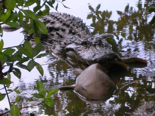 An alligator grabs a small shark in an estuary.
