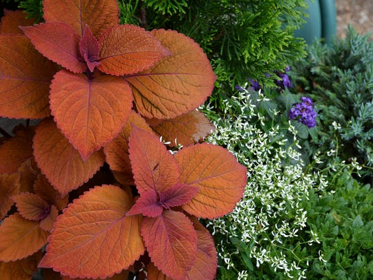 Campfire coleus stands out against a green background