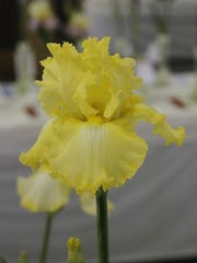 The Benson Iris Society will hold its 49th annual Iris