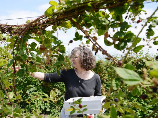Robin Fewell of Silverton picks Marionberries in the u-pick fields at Willamette Valley Fruit Co. on Thursday, July 24, 2014. Growers say Marionberries are in shorter supply this year because of a severe winter.