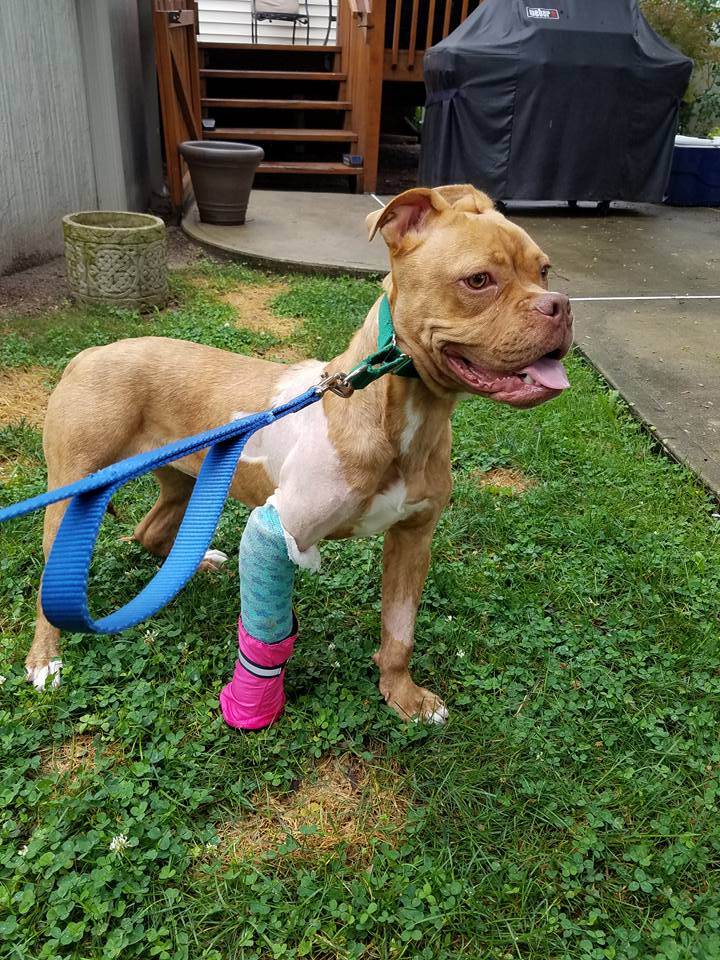 homeless pup gets life changing surgery rh mycentraljersey com umbilical hernia surgery for puppies surgery for a puppy
