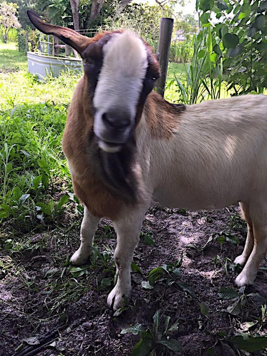 Baron (or Barren) Vincent Van Goat